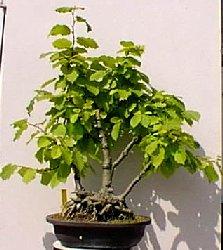 Corylus noisetier bonsa pot arbre - Quand tailler un noisetier ...