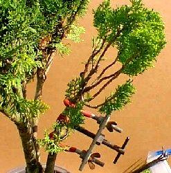Thuyas Bonsai Arbre