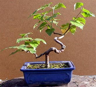 salix chrysocoma saule pleureur bonsai arbre
